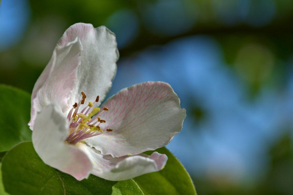 fiore-cotogna