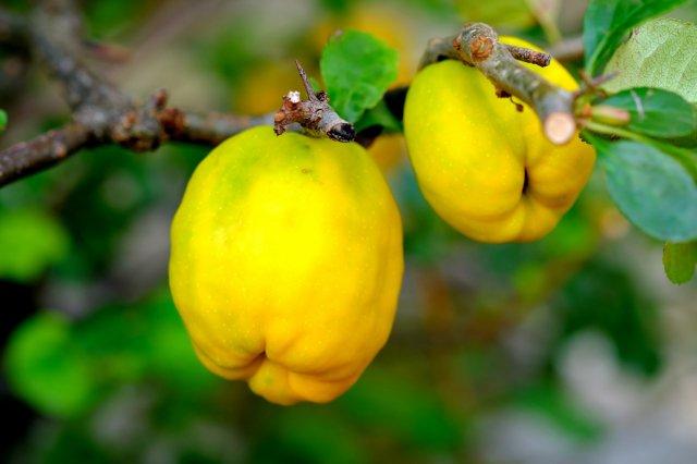mela-cotogna-caratteristiche-coltivazione-usi